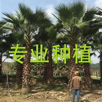 福建华盛顿棕榈基地 福建华盛顿椰子报价 福建华盛顿葵价格