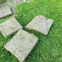 顺发绿化草坪基地出售马尼拉草皮,马尼拉规格22*22*10