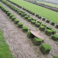 马尼拉草坪批发 马尼拉草坪报价 马尼拉草坪图片 优质草坪
