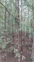 安徽水杉3介绍