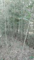 安徽早园竹1信息