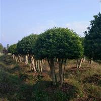 杨梅价格、湖南杨梅树价格6-8公分杨梅价格10公分杨梅树价格