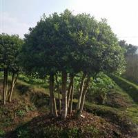 大杨梅树价格、杨梅树图片 大量批发杨梅树