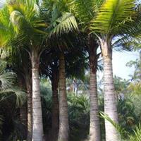 福建国王椰子 国王椰子价格 国王椰子基地 国王椰子多少钱