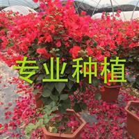 中國紅三角梅哪里便宜 中國紅三角梅哪里比較多
