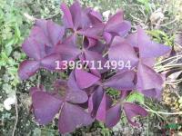 浙江紫叶酢浆草*新报价/紫叶酢浆草图片