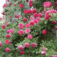 水红色蔷薇苗 蔷薇苗1.3米长 白花蔷薇种子