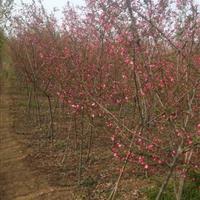 垂丝海棠苗 垂丝海棠2-6公分苗圃直销