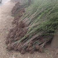 金银木种子 金银木80公分 金银木丛生苗圃直销