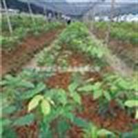 供应花梨木(鄂西红豆)