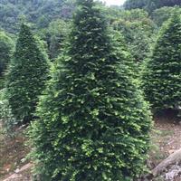 红豆杉2-3-4-5-8-10-12公分红豆杉小苗、红豆杉树