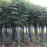 湖南栾树,6公分栾树,8公分栾树,12公分栾树价格,切杆栾树