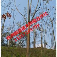 精品栾树、精品移栽栾树、 优质原生栾树、优质全冠栾树
