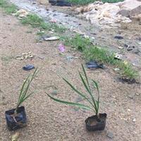 漳州供应紫娇花(非洲小百合)