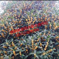 湖南桂花树、桂花球、 桂花苗 、八月桂、 金桂、 四季桂
