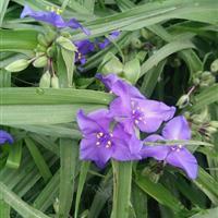 紫露草 苗圃促销 低价批发