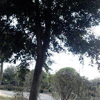 樸樹價格|多桿叢生樸樹價格|50以上樸樹價格