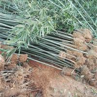 湖南地区供应3公分刚竹,刚竹价格,刚竹图片