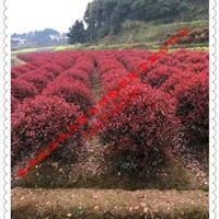 湖南红叶石楠、红叶石楠球、 红叶石楠球形苗木