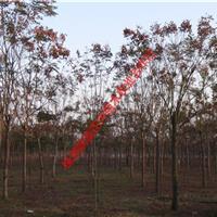 基地直供湖南栾树 移栽栾树 10、12、15、18公分
