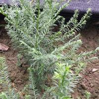 河南地区基地供应:红豆杉苗。