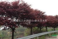 浙江紅楓6