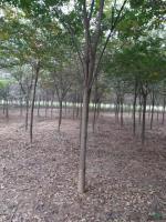 榉树的生长习性 榉树图片 榉树报价表 如何购买