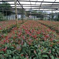 红叶石楠球,湖南郴州红叶石楠苗