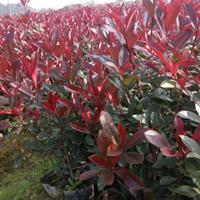 红叶石楠杯苗红叶石楠价格红叶石楠产地红叶石楠批发红叶石楠色块