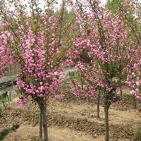 供应优质垂丝海棠2-3-4-5-6-7-8-公分垂丝海棠价格