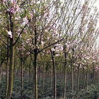 供应西府海棠价格、西府海棠产地、西府海棠绿化苗木苗圃基地