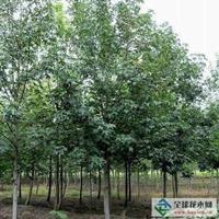 供應楓香10-25公分、楓香價格、楓香綠化苗木直銷