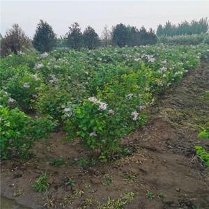 供紫丁香价格、紫丁香图片、紫丁香产地、紫丁香绿化苗木苗圃基地
