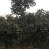 河南地区供应:红叶石楠球及红叶石楠树。