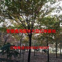 安徽地区供应优质8-18榉树, 榉树好供应商,榉树基地