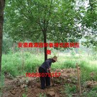 安徽香樟好供应商 供应2-30公分精品香樟 肥西大型香樟基