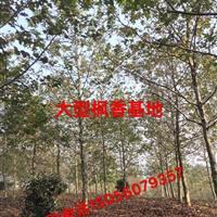 安徽地区*好供应商供应8-20公分枫香枫香基地