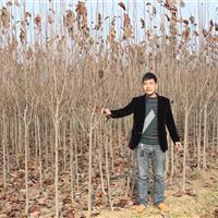 江苏紫玉兰苗*新价格 紫玉兰1-8公分 白玉兰基地批发