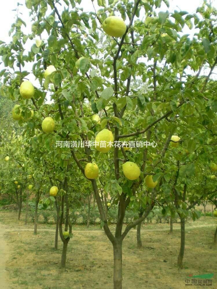 低价木瓜树农户出售价格表