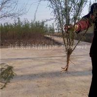 山东刘青山供应5分枝柽柳价格5分枝柽柳基地