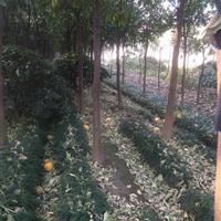 低价出售10公分移栽柚子树