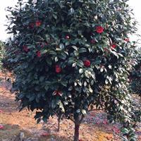 大量供应2-12公分茶花