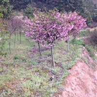 大量供应2-12公分海棠,垂丝海棠