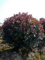 红叶石楠球p1,8m-2,5m供应/红叶石楠球2,5.m图片