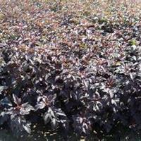 紫叶风箱果报价,定州紫叶风箱果,紫叶风箱果厂家