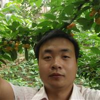 黄蜜大樱桃树苗 基地促销 低价批发
