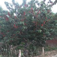 红灯大樱桃果树苗基地直销 低价批发
