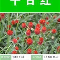 【千日红种子】大量种子销售批发价格低质量高成活率95%