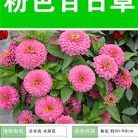 【四季海棠种子】大量种子销售批发价格低质量高成活率95%