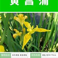 【龟背竹种子】大量种子销售批发价格低质量高成活率95%